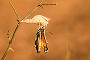 A set of 3 images of Large Salmon Arab butterfly, (Colotis fausta syn Madais fausta) as it emerges from its cocoon. The large Salmon Arab butterfly is a small butterfly of the Family Pieridae, which is found in Israel, Syria, Turkey, Iran, Afghanistan, India, Arabia, Chad and Somalia. Photographed in Israel