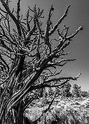 Dying gnarly old juniper tree in the Oregon Badlands Wilderness