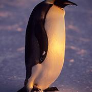 Emperor Penguin adult illuminated in the morning light on Atka Bay. Antarctica