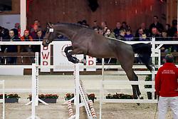 056, Pegasus vh Maarlo<br /> Hengstenkeuring BWP - Lier 2018<br /> © Hippo Foto - Dirk Caremans<br /> 20/01/2018