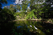 Typical Everglades scene Great White Egret and endangered species Wood Stork in glade, Florida, United States of America