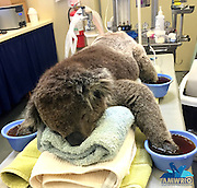 Touching pictures of Jeremy the koala recovering after burning all four of his paws trying to escape the devastating SA bushfires <br /> <br /> A young koala is in recovery after suffering second-degree partial thickness burns on all four of his paws from the devastating bushfires in South Australia.<br /> Heartbreaking images of Jeremy the koala have gone viral since he was treated at Australian Marine, Wildlife Research and Rescue Organisation (AMWRRO) yesterday.<br /> It was a timely reminder that the bushfires have also destroyed the homes of our native wildlife.<br /> While carers say it's too early to predict whether Jeremy will make a full recovery, he is currently 'doing very well and is in great spirits'.<br /> Aaron Machado from AMWRRO said, Jeremy, aged about two-years-old, is still in a critical condition.<br /> 'He's in a lot of pain and severely dehydrated but he's stabilised and doing okay for now,' he said.<br /> <br /> 'So he's being closely monitored by carers at this stage.<br /> 'We're unsure whether we can expect a full recovery from him. But he certainly has the potential.'<br /> <br /> This comes asWednesday saw the biggest firefighting effort since the fire began on Friday afternoon, with a total of 31 aircraft and 110 trucks on the ground.<br /> <br /> There were 600 firefighters worked to battle 40 degree temperatures and 30 kilometre per hour winds on Wednesday, in an effort to take control of the raging bushfires.<br /> Country Fire Service chief officer Greg Nettleton confirmed that 95 per cent of the fire has been contained by Wednesday afternoon, with only two 'hotspot' areas of concern remaining.<br /> Over 12,500 hectares of land has been destroyed or damaged in the blaze so far, including 32 homes, 125 other buildings and four businesses.<br /> As of Wednesday morning, over $13 million worth of insurance claims had been lodged by vicitms.<br /> <br /> Photo Shows: A young koala is in recovery after suffering second-degree partial th
