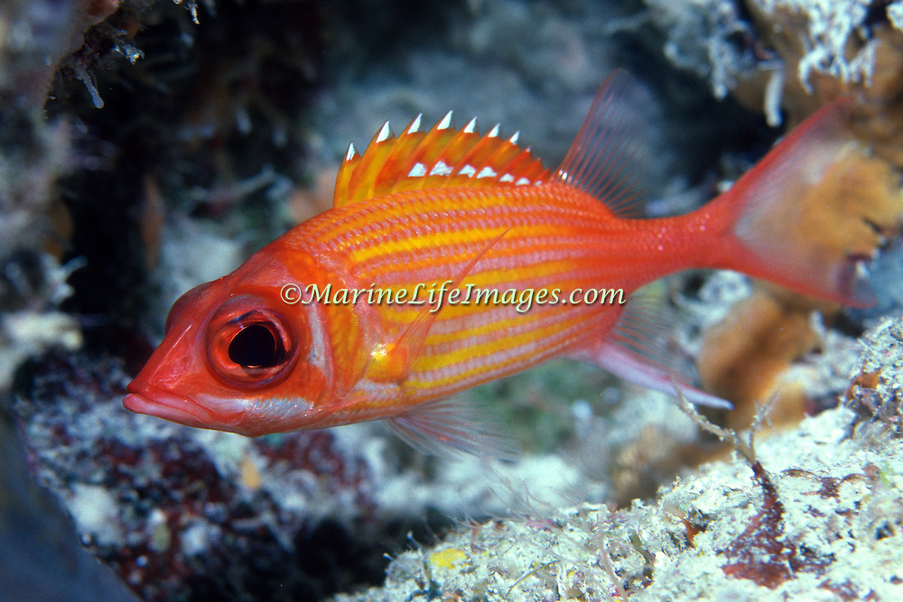 Longjaw Squirrelfish inhabit mid-range to deep reefs hide in or near dark recesses, in Tropical West Atlantic; picture taken Grand Cayman .