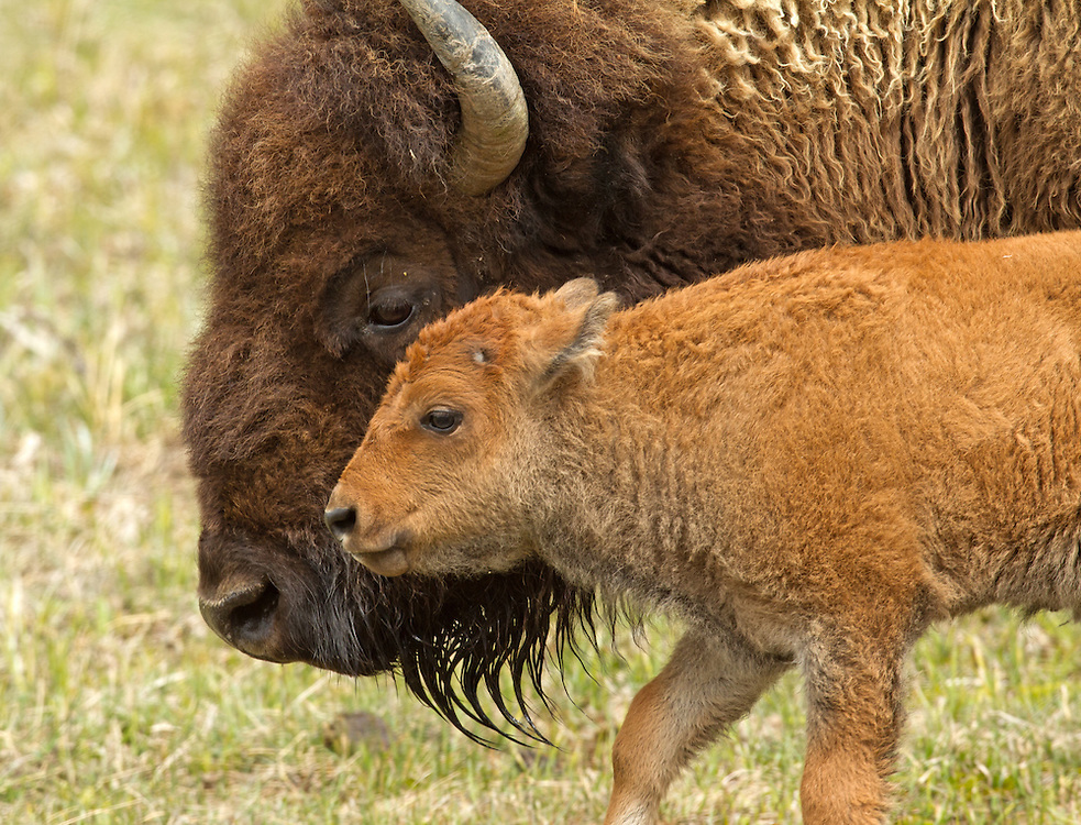 Bison calves, usually born in April or May, stay close to their mother for the first few years of their lives. Even after their mother produces another calf the following spring, her yearling can still be seen trailing close behind.