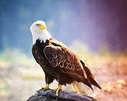 Bald Eagle with Canvass Texture