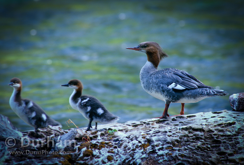 A common merganser (Mergus merganser) on the Metolius River. Deschutes National Forest, Oregon.