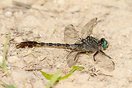 Unicorn Clubtail (Arigomphus villosipes) - male<br /> United States: Alabama: DeKalb Co.<br /> Alpine Camp for Boys<br /> Fort Payne<br /> 12-May-2017<br /> J.C. Abbott #2945