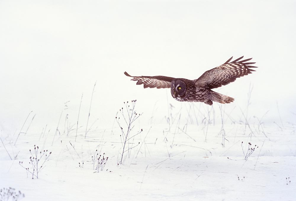 Great Gray Owl, Strix nebulosa, Aitkin County, Minnesota