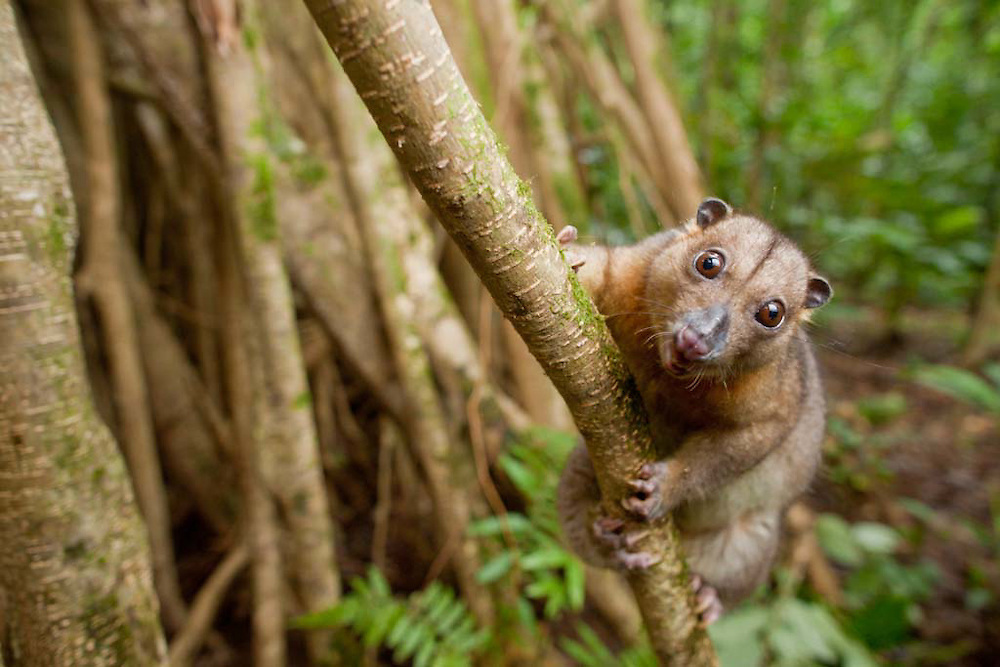 Common Spotted Cuscus, Spilocuscus maculatus, on butress roots on Tetapare