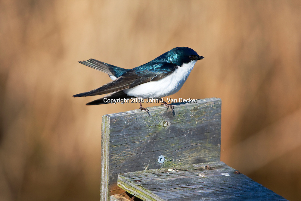 Tree Swallow on top of birdbox