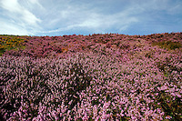 Purple heather in the Peak District National Park ..., Travel, lifestyle