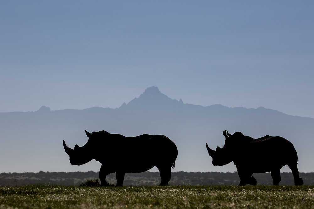 Two white rhinos silhouetted against the outline of Mount Kenya on a clear morning
