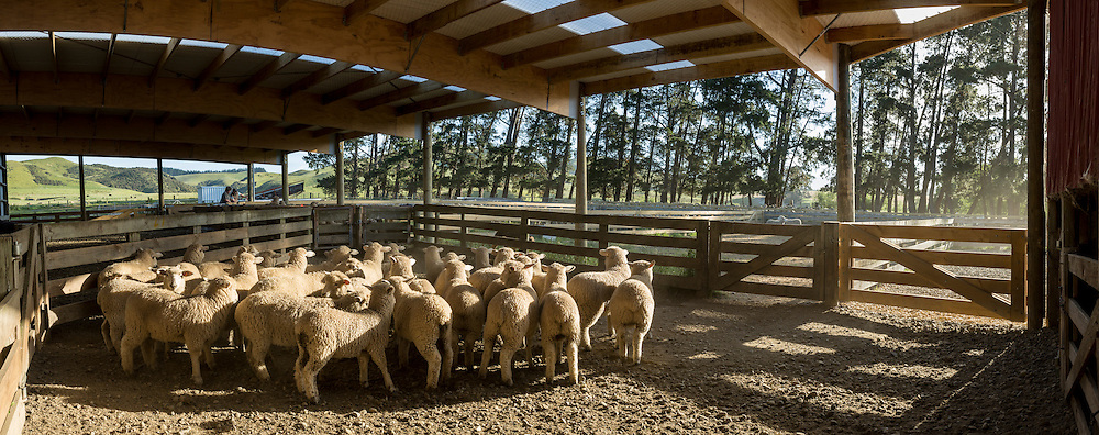 A small flock of lambs wait in a covered yard. Two farmers are working in the background and a shelter belt of large pine trees can be seen.