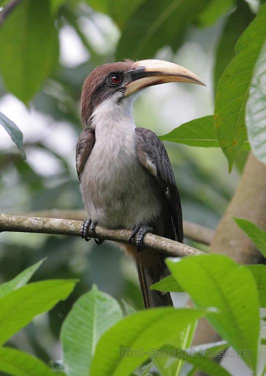 Sri Lanka Grey Hornbill, Ocyceros gingalensis, Kitulagala, Sri Lanka, by Jonathon Rossouw