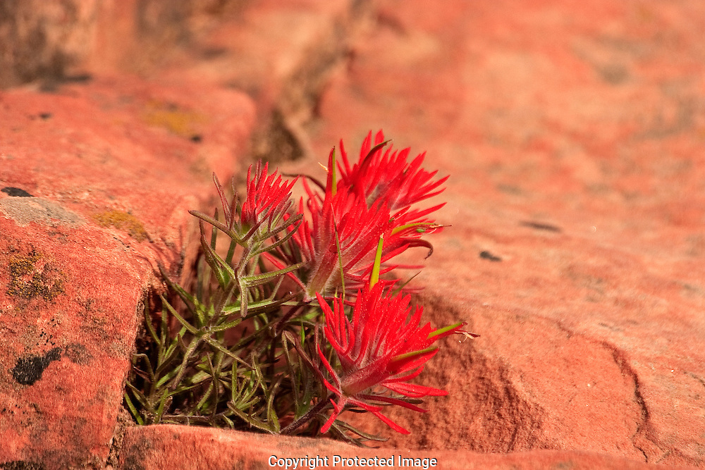 A crack in the sandstone is home to this vibrant red spiked Desert Paintbrush