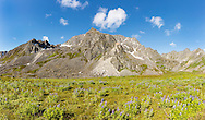 Composite panorama of field of Arctic Lupine (Lupinus arcticus) and Talkeetna Mountains in Archangel Valley at Hatcher Pass in Southcentral Alaska. Summer. Morning.