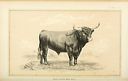 West Highland Bull from Cattle and dairy farming. Published 1887 by Govt. Print. Off. in Washington. United States. Bureau of Foreign Commerce (1854-1903)