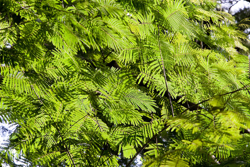 Divinopolis_MG, Brasil...Detalhe dos galhos da arvore no Parque do Gafanhoto...Detail of the tree branchs in the Gafanhoto park...Foto: LEO DRUMOND / NITRO..