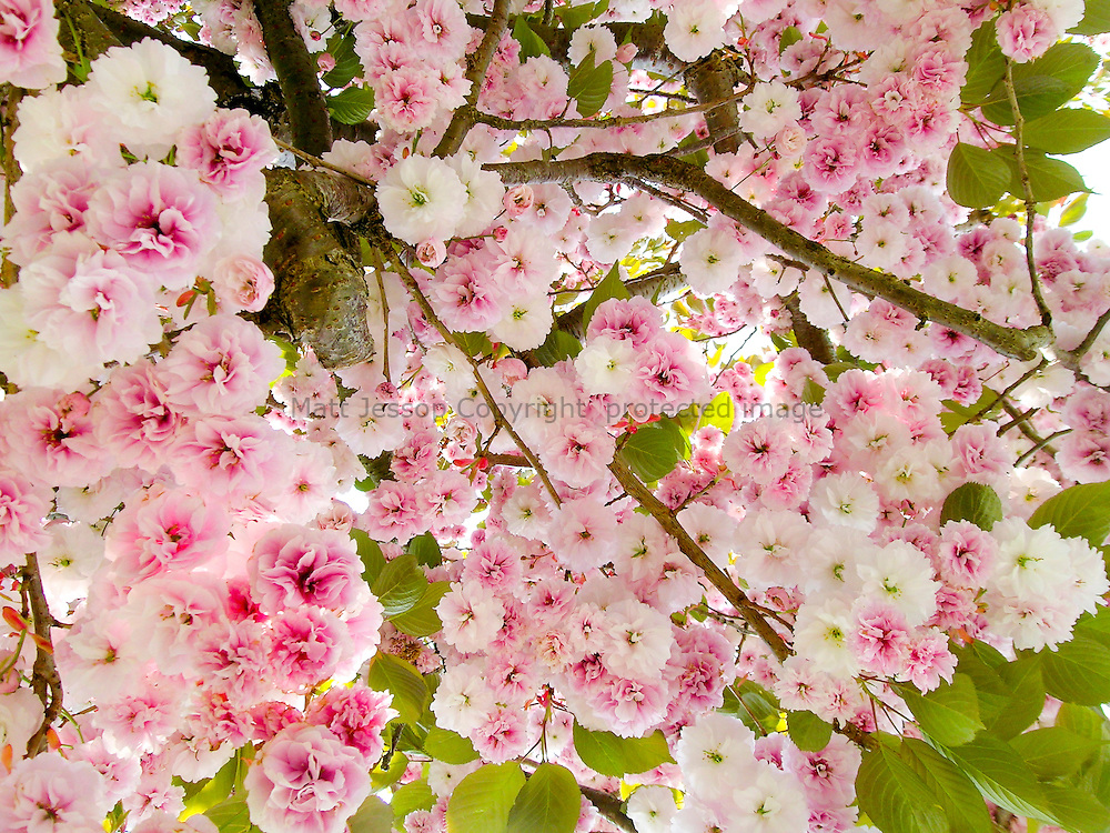 Pink and White Blossom