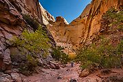 Sandstone walls tower above Spring Canyon in Capitol Reef NP, Torrey, Utah, USA. In Capitol Reef National Park, we hiked impressive sandstone gorges from Chimney Rock Trailhead over to Spring Canyon and down to a car shuttle at Highway 24 (10 miles one way with 1100 ft descent and 370 ft gain).