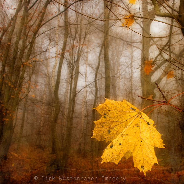 Bright yellow maple leaf in autumn