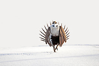 Early March the Sage Grouse are starting to visit the local breeding grounds at the northern Utah Henefer Lek which is on the Summit and Morgan County line, this year March finds the Sage Grouse with about three feet of snow on the grounds.