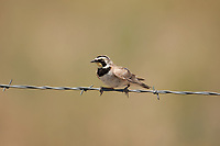 A Horned Lark rests on a fence wire in Utah on a warm July afternoon.