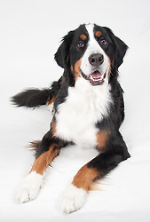 Bernese Mountain Dog Aspen
