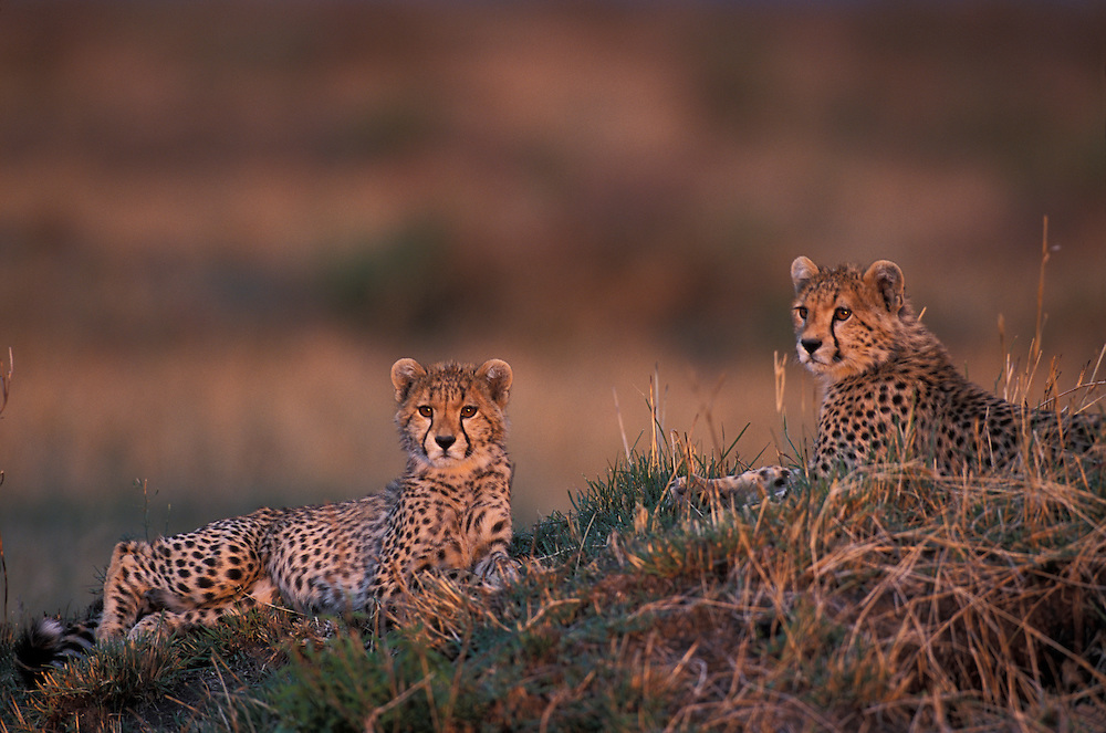 Africa, Kenya, Masai Mara Game Reserve, Cheetah cubs (Acinonyx jubatas) rest atop termite mound at sunset