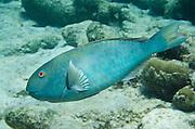 Yellowtail Parrotfish (Sparisoma rubripinne)<br /> BONAIRE, Netherlands Antilles, Caribbean<br /> HABITAT & DISTRIBUTION: Shallow areas of coral rubble and sea grass. <br /> Florida, Bahamas, Caribbean, north to Massachusetts & Bermuda