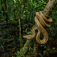 While pythons undoubtedly hold the crown for the largest and most famous constricting snakes of Indonesia, a single genus of boas also occurs in the rainforests of the eastern archipelago. Often overlooked, the Pacific Keel-scaled Boa (Candoia carinata) seldom exceeds a meter in length. It is an ambush predator of frogs and lizards, and like other boas, bears live young rather than laying eggs.
