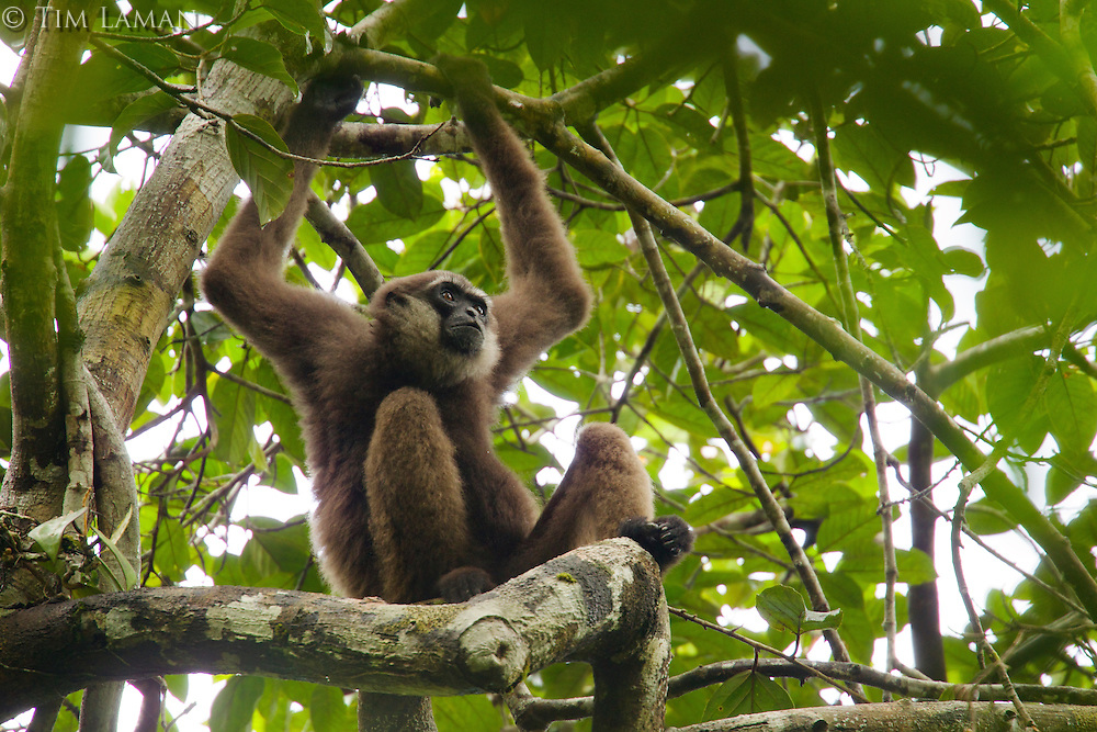 Bornean White-bearded Gibbon (Hylobates albibarbis) adult male resting on a tree branch.