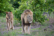 An older male lion and younger, adult male lion walk in the bush, Botswana
