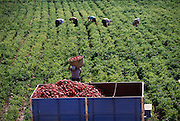 Picking red peppers near Mendavia on the border between La Rioja and Navarra provinces, Spain.