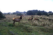 A herd of Tule Elk females graze near the redwood coast of northern california.