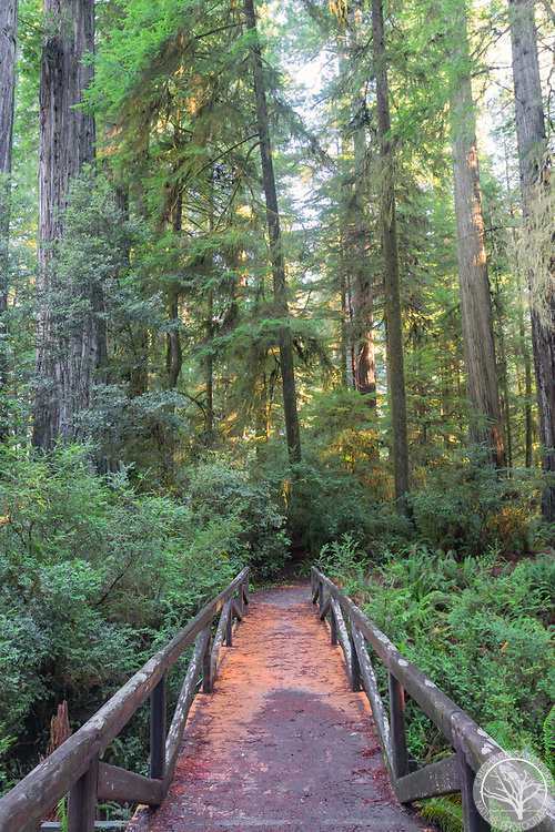 Bridge in Simpson Reed Grove, Redwoods National Park, CA
