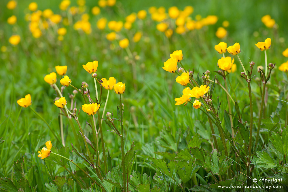 Creeping Buttercup. Ranunculus repens