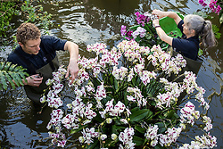 © Licensed to London News Pictures. 07/02/2019. London, UK. Kew Diploma Students Michael Antonetti (L) and Sal Demain (R) tend to orchids at the 24th annual Kew Orchid Festival, which this year focusses on the colour and biodiversity of Colombia. Photo credit: Rob Pinney/LNP