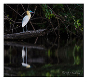 Capped Heron at the banks of Cristalino River, southern Amazon, Brazil.  Nikon D4, 200-400mm + TC17 @ 650mm, f6.7, 1/1000sec, ISO2000, Manual modus