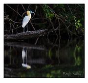 Capped Heron at the banks of Cristalino River, southern Amazon, Brazil.  Nikon D4, 200-400mm + TC17 @ 650mm, f6.7, 1/1000sec, ISO2000, Manual