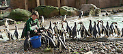 ZSL London Zoo Annual Count<br /> 4th January 2016 <br /> London Zoo, Regent's Park, London, Great Britain <br /> <br /> Zoo Keeper Janet Abrev counts the Humboldt Penguins <br /> <br /> Photograph by Elliott Franks <br /> Image licensed to Elliott Franks Photography Services