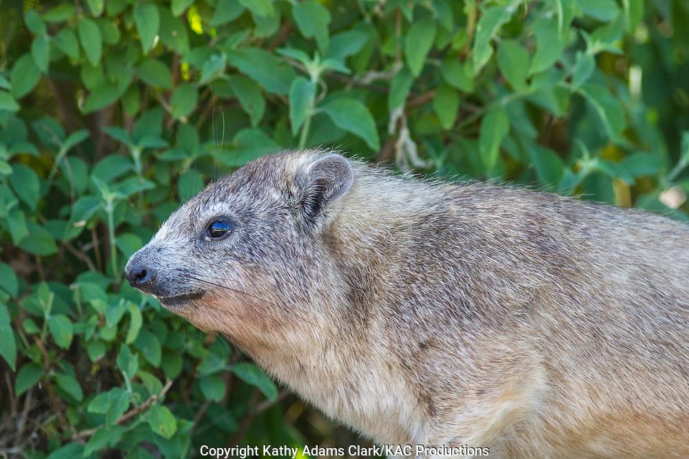 Rock hyrax, Procaia capensis, Serengeti, Tanzania, Africa.