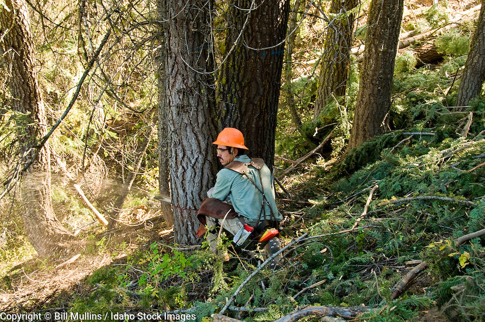 Sawyer felling a tree on a timber sale on private land in central Idaho