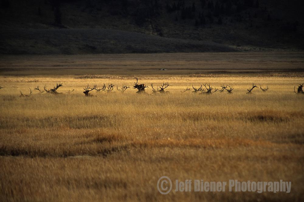 A herd of elk recline in the National Elk Refuge, Jackson Hole, Wyoming.