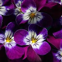 Purple Flowers / fa045