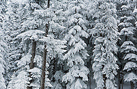 Snow covered forest scene in the central Cascades of Washington State, USA.