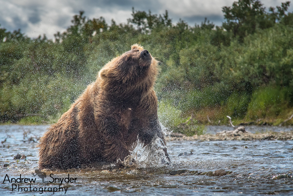 A bear (Ursus arctos) shaking its fur dry - Katmai, Alaska