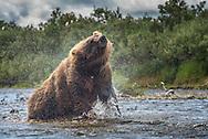 A bear (Ursus arctos) shaking its fur dry - Katmai, Alaska