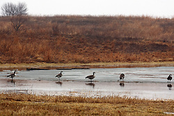 06 February 2008: Canadian geese sit in shallow water from rain that has gathered on top of a layer of ice on top of Evergreen Lake at Comlara Park in northern McLean County, north of Bloomington-Normal Illinois.