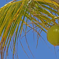 Cocotero en la Playa Miami en el Parque Nacional Laguna de Tacarigua. Edo. Miranda, Venezuela. Tacarigua, 21 de Mayo del 2012. Jimmy Villalta
